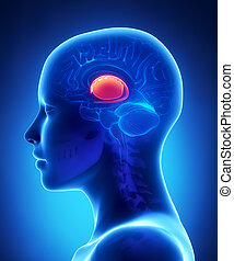 Basal ganglia - female brain anatomy lateral view