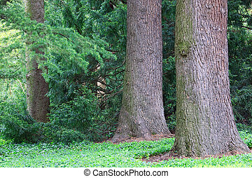 basal trunk part of old majestic cedar tree.