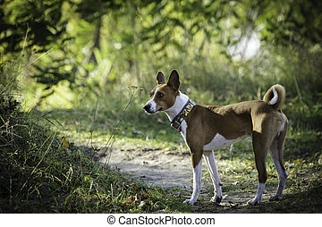 Basenji dog for a walk in the park