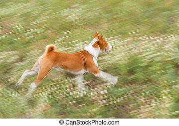 Basenji dog galloping outdoors