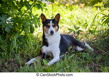 Basenji dog in summer garden