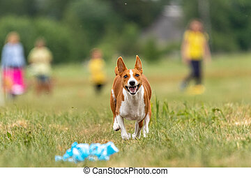 basenji dog lure coursing competition at the finish