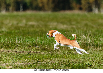 Basenji dog lure coursing competition on green field in summer