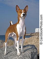 portrait of Basenji dog isolated on white background