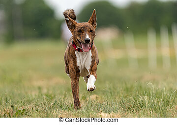 Basenji dog running across the field