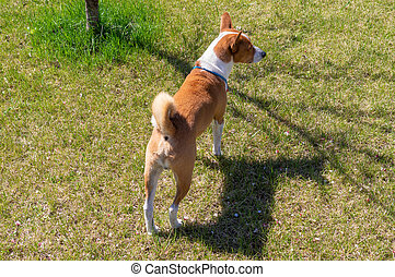 Basenji dog standing on a lawn in spring garden