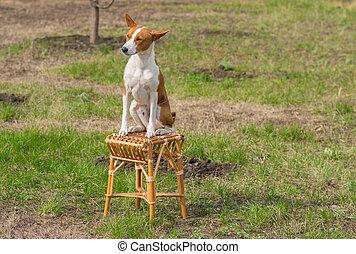 Basenji dog sunbathes sitting on a wicker stool