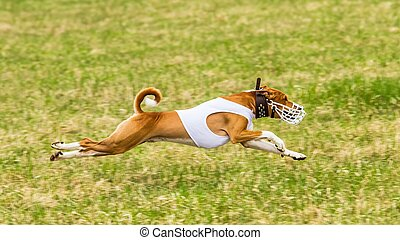 Basenji flying in the field on lure coursing competition