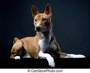 Brindle basenji dog on the black background