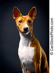Basenji on the black background - Beauty basenji sitting on...