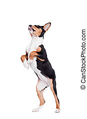 Little Basenji puppy, 3 month old, on the white background
