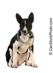 Basenji puppy on white
