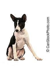 Basenji puppy on white