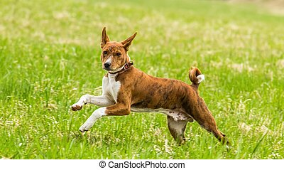 Young basenji dog running in the field on lure coursing competition