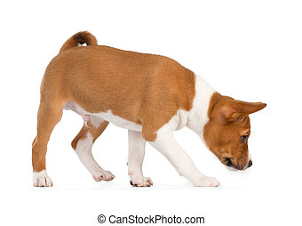 Basenji puppy sniffing - Basenji puppy isolated on white...