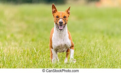 Basenji running in the field on lure coursing competition