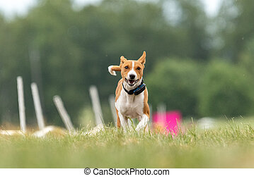Basenji running qualification for lure coursing championship
