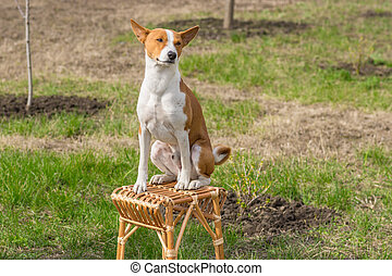 Basenji sunbathes sitting on a wicker stool