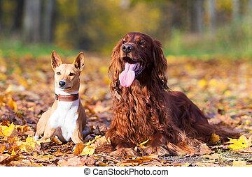 Basenjis and irish setter dogs in autumn park