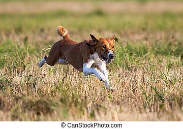 Basenjis dog coursing run in field