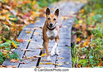 Basenjis dog in autumn park