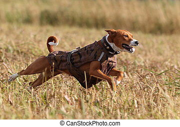 Basenjis dog run in field