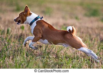 Basenjis dog run in field