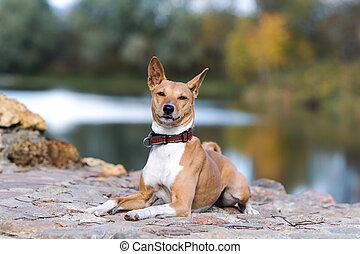 Basenjis dog sit in autumn park