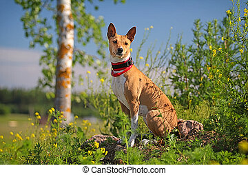 Basenjis dog sit in flowers field