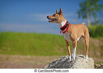 Basenjis dog stand on rock