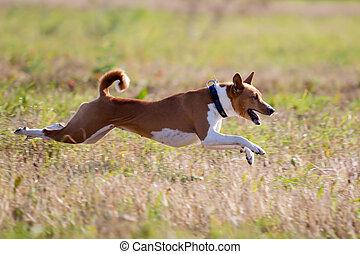 Basenjis dogcoursing run in field