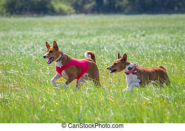 Basenji dogs running qualification for lure coursing championship