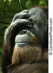 Orangutan face covered bashful portrait
