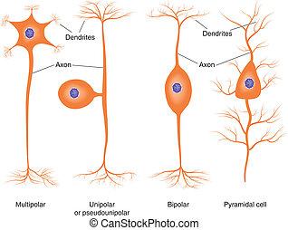 Basic neuron types - Illustration of basic neuron types