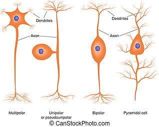 Basic neuron types - Illustration of basic neuron types