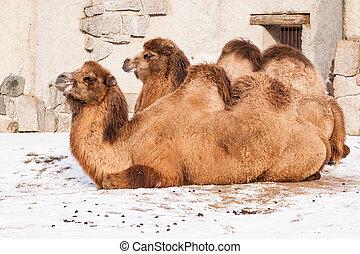 basierend, kamele