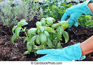 basil, 种植
