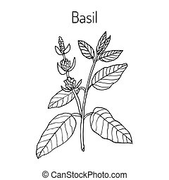 Basil culinary and aromatic herb