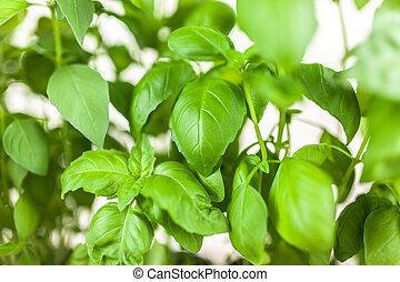 Basil growing in tin cans