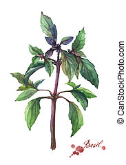Basil. Hand drawn watercolor painting on white background.