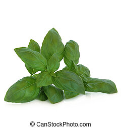 Basil herb leaf sprig isolated over white background with reflection.