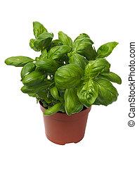 Basil herb on white