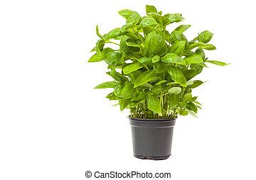 basil in a pot