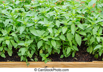 Basil leaf, Home herbal garden with Label, Nontoxic clean plant, Organic vegetables for food.