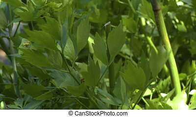 Basil Leaves Blowing in Wind - Steady, close up shot of...