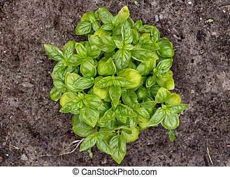 Basil organic plant in garden