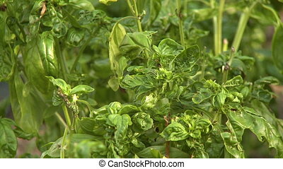 Basil Plant and Leaves - Steady, medium close up shot of a...