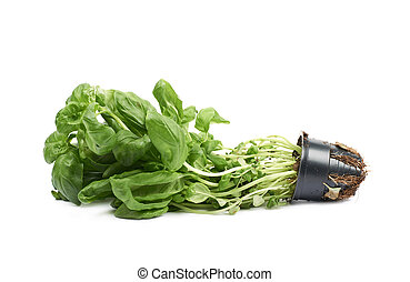 Basil plant in a pot isolated