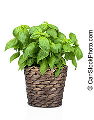 Basil Plant in Pot on White background