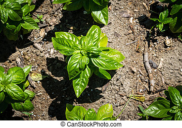 basil plant in the garden